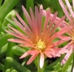 ice-plant-flower1