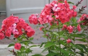 phlox-flowers