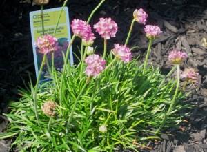 Dussendorf Pride Sea Pink flower