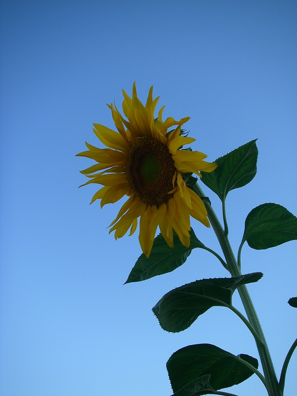 This sunflower is nine feet tall and has a flower as big as your FACE.  Yes, YOUR face...