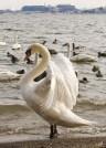 Swan at Lasalle Park