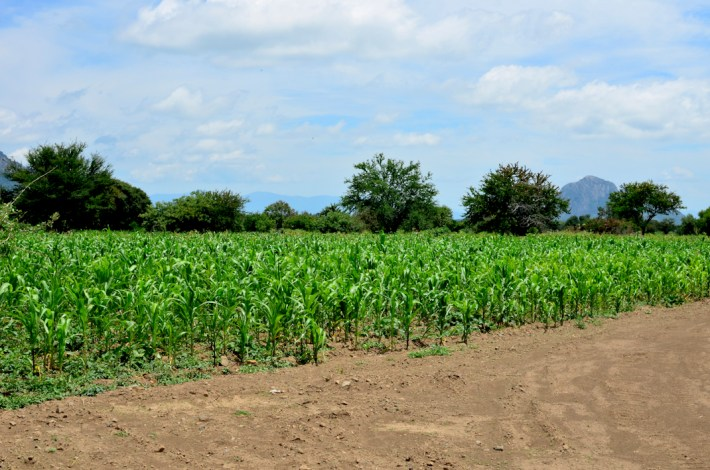El maíz es otro cultivo de suma importancia, como lo es en todo México.