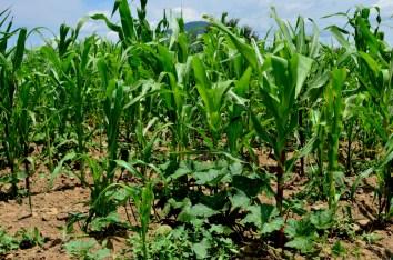 En algunas tierras, la milpa florece después de que los tubos del gasoducto son enterrados. Las comunidades originarias de Morelos conservan el cultivo de la milpa.