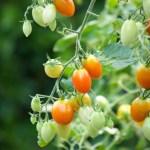 ミニトマト画像