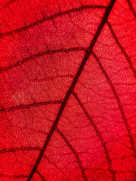 backlit leaf study photograph