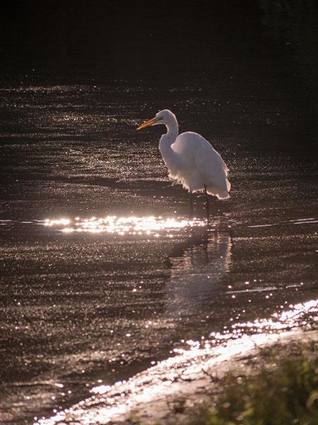 Great white egret bird photo