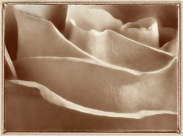 rose art photo