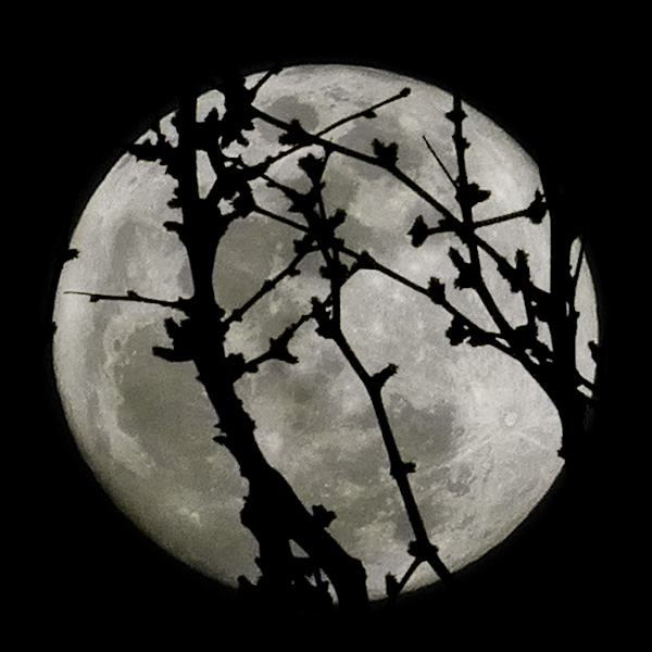 moon photo with mesquite branches