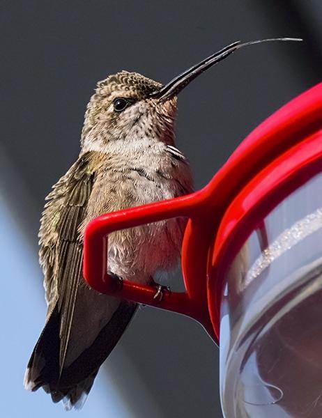 hummingbird photo processed