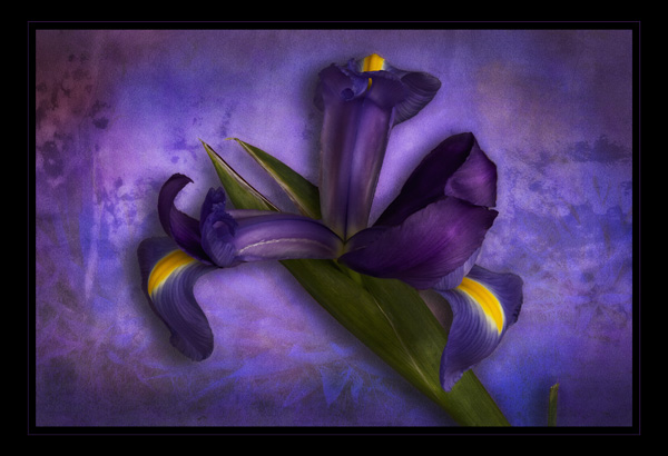 iris art image by bob coates