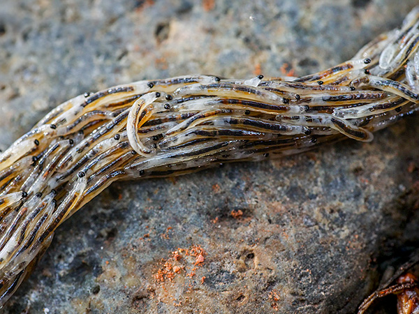 gnat larva on the move photo