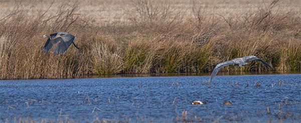 gret blue herons bob coates photography