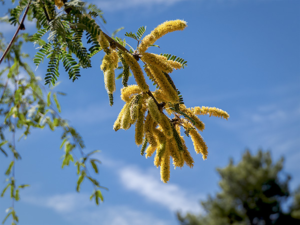 mesquite tree bloom image