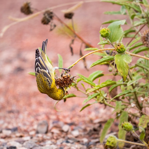 lesser goldfinch feeding photo