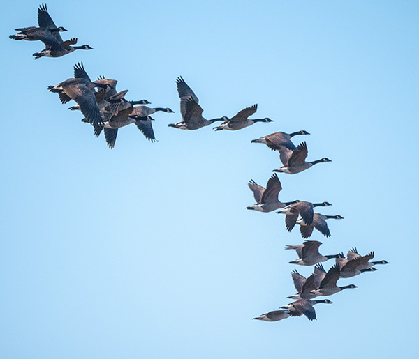 canada geese in loose formationon