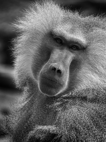 baboon portrait at phoenix zoo