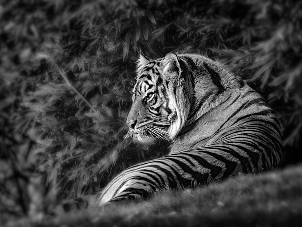 tiger from the phoenix zoo photo