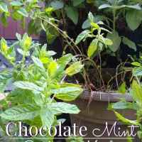 Chocolate Mint: Good for much more than tea!