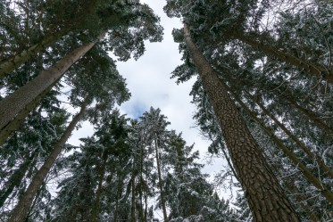 Frozen Forest looking up