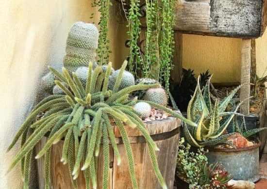 Fotos de cactus cola de rata