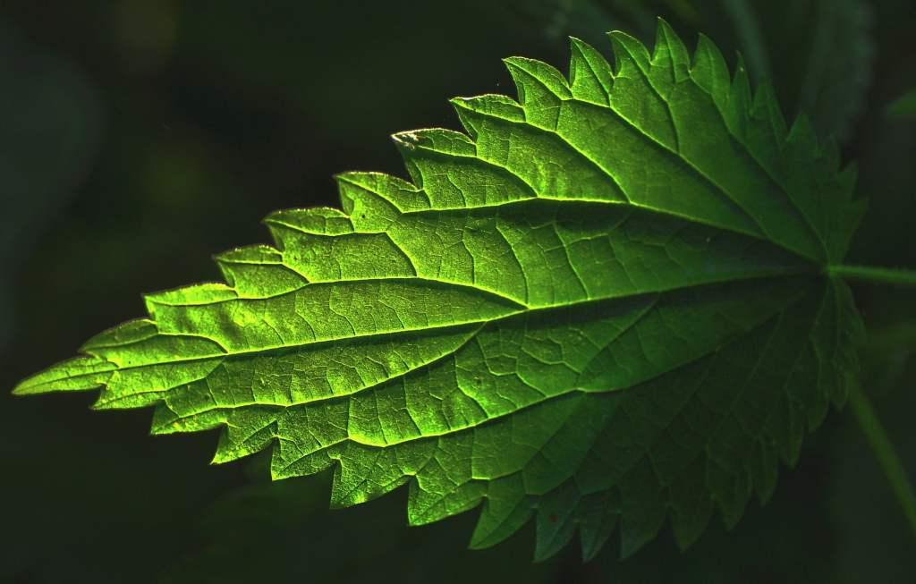 Aplica fertilización foliar en la parte inferior de las hojas.