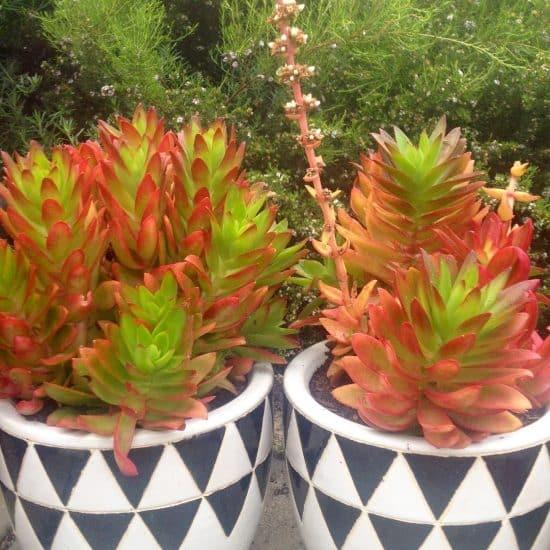 Crassula de fuego - Cultivo y propagación