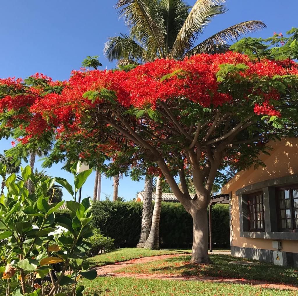 Flamboyán Cultivo Cuidados Y Propagación Succulent Avenue