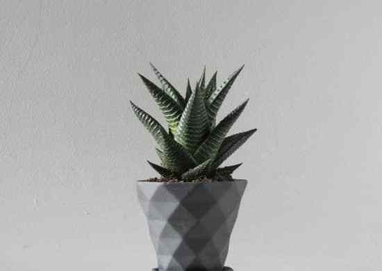 Fotos de Haworthia limifolia (suculenta piel de cocodrilo)