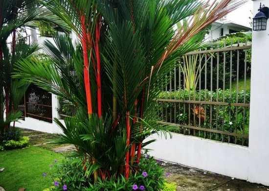 Fotos de palma roja