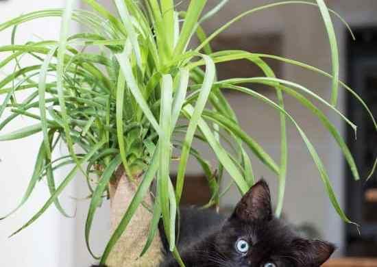 Cómo cuidar la planta pata de elefante en interiores