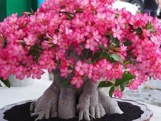 C mo cuidar la rosa del desierto en maceta succulent avenue - Como cuidar las hortensias en maceta ...