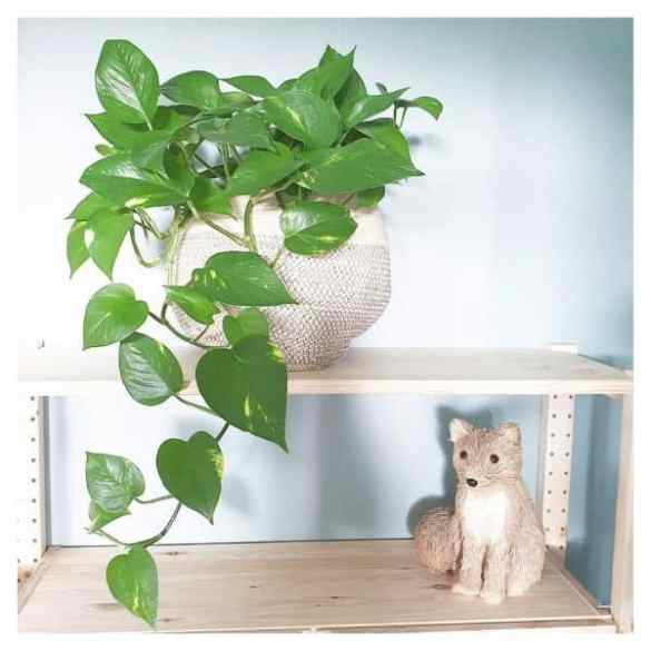 Planta potos - Epipremnum aureum