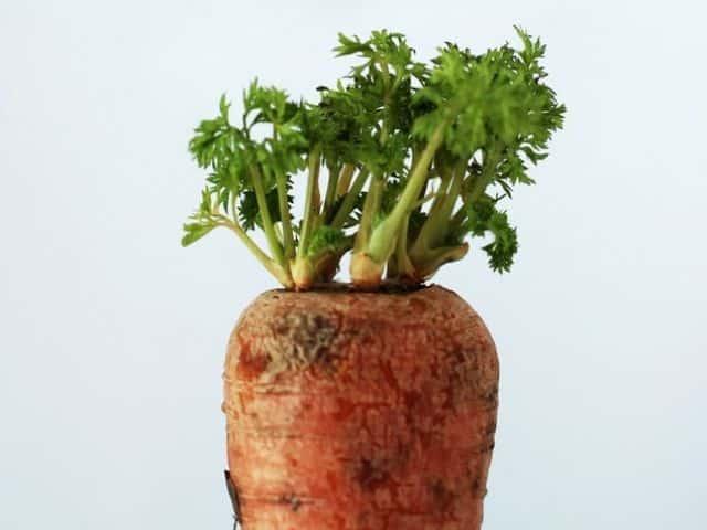Datos Curiosos De Las Zanahorias Succulent Avenue Antes de plantar zanahoria aporta compost o humus de lombriz a la tierra para mejorar su fertilidad. datos curiosos de las zanahorias