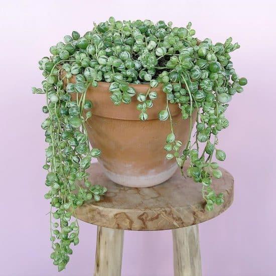 planta rosario variegada