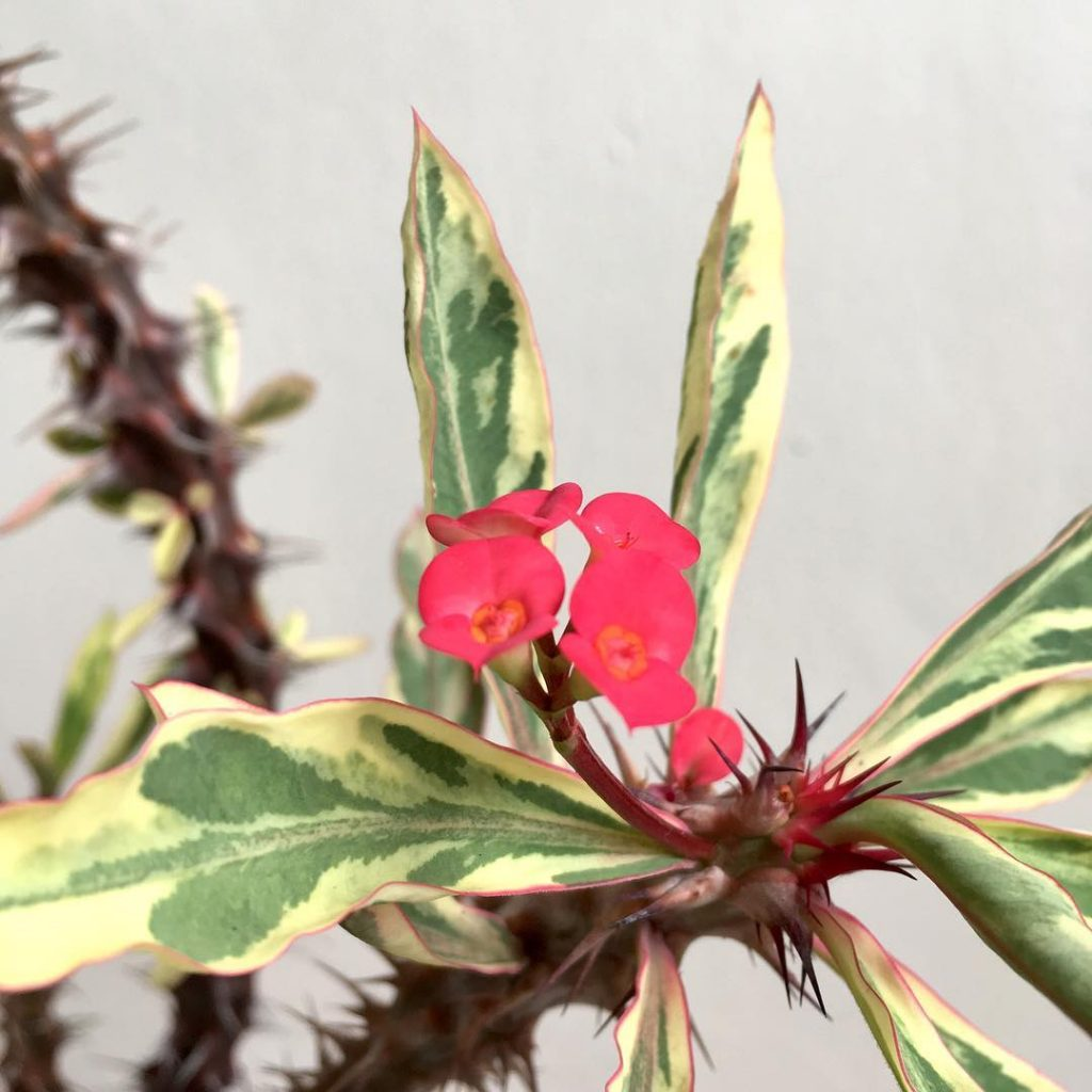 Everything about the Crown of Thorns Succulent