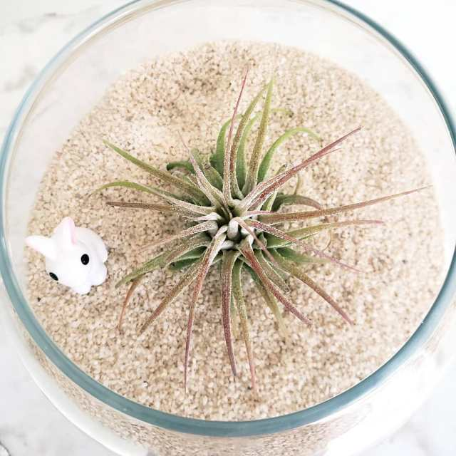 Air plant in fish bowl planter