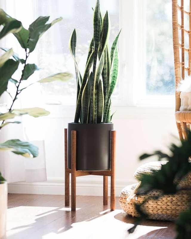 Snake plant in black planter