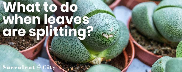 What to do when leaves are splitting