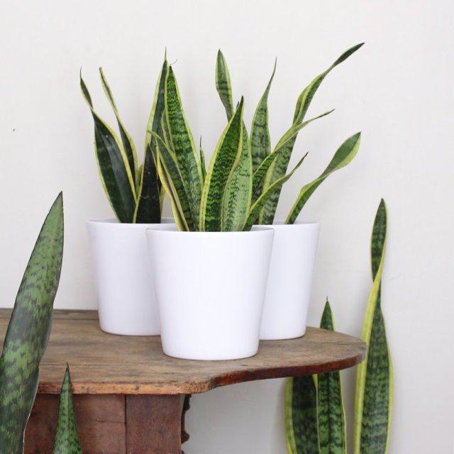 3 snake plants in modern white planters