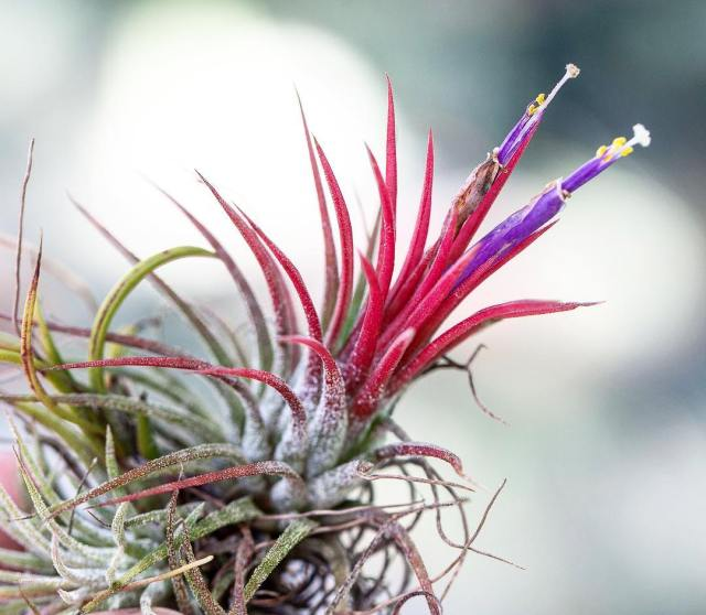 Watering air plants at home