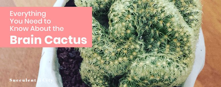 Everything about the Brain Cactus