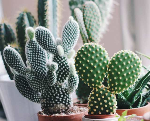 how to repot a cactus plant