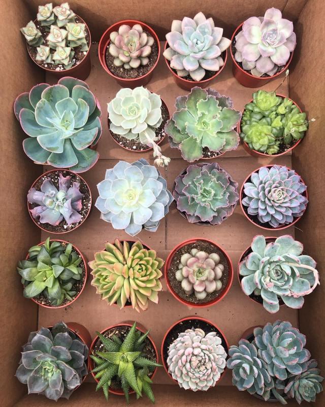 Soft vs hard succulent plants