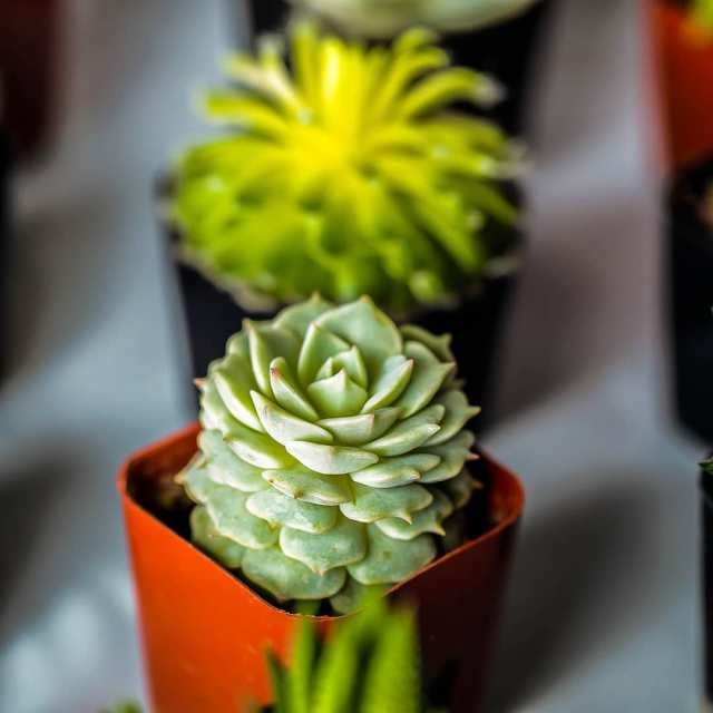 Soft vs hard succulents