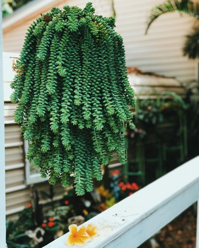 are succulents poisonous