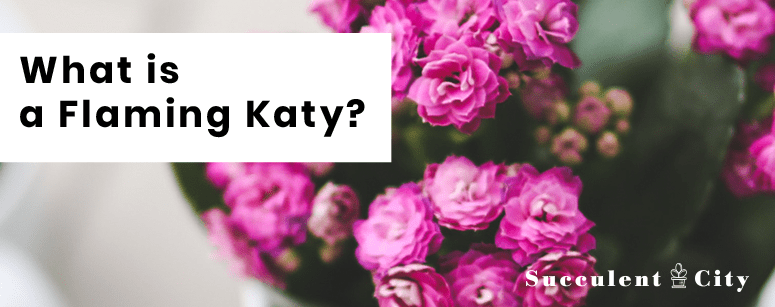 Flaming Katy Succulent