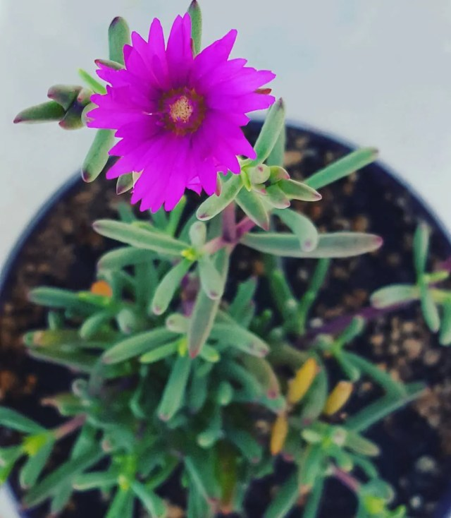 7 Cold Hardy Succulents You Didn't Know About