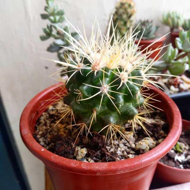 Devils Pincushion - Echinocactus texensis