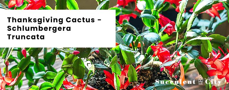 Thanksgiving Cactus Schlumbergera Truncata