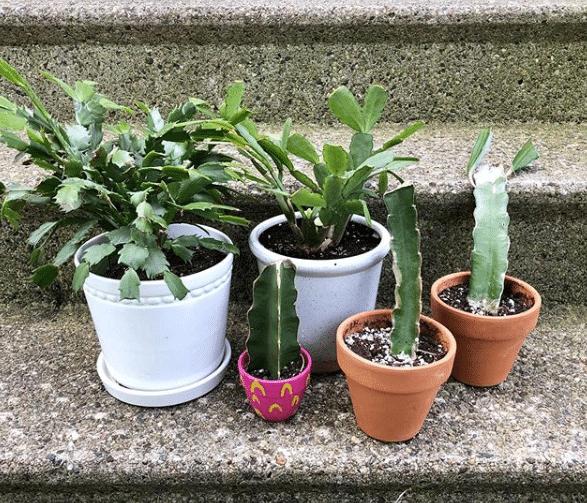 Beautiful Easter Cactus